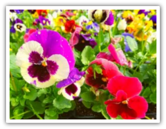 pansy2v shadow