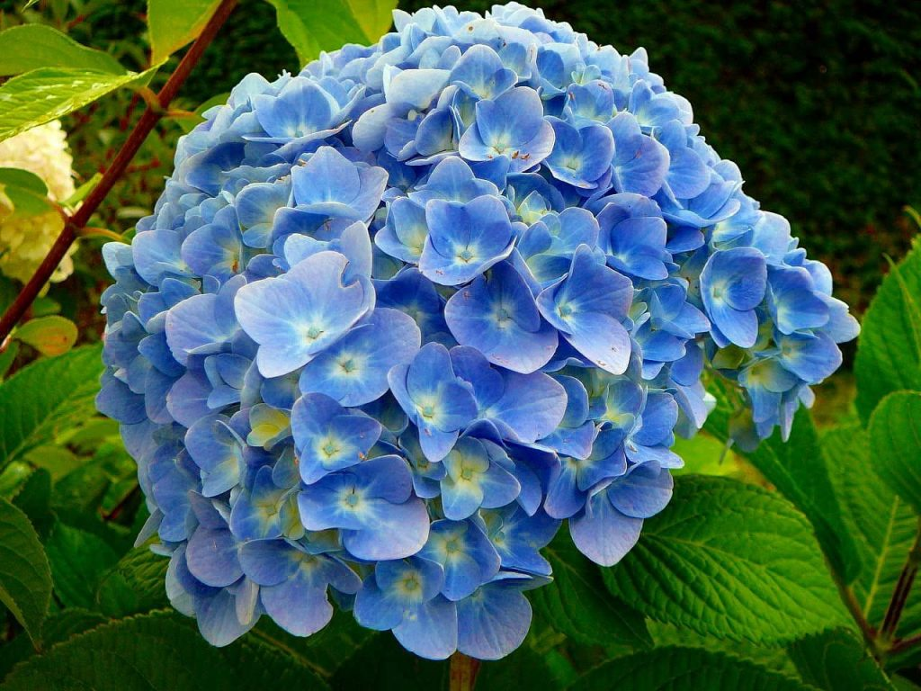 Drying Hydrangeas: Preserving Summer Beauty