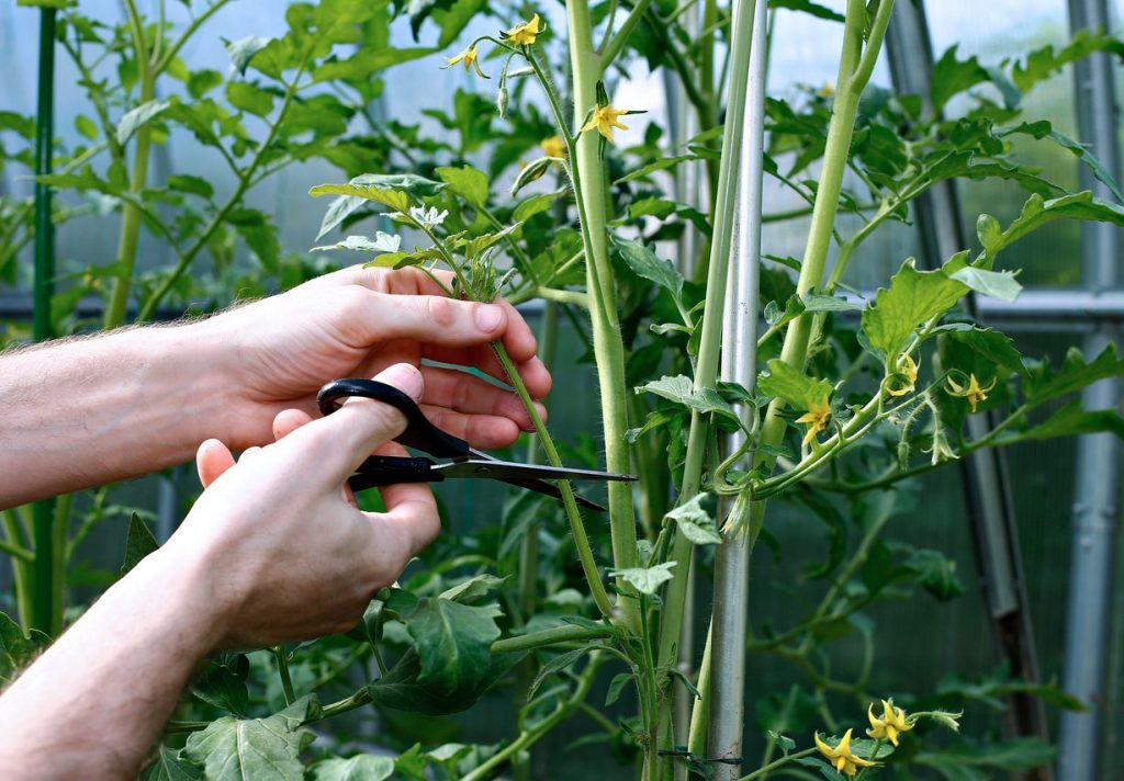 How to Prune Tomatoes for a Higher Fruit Yield