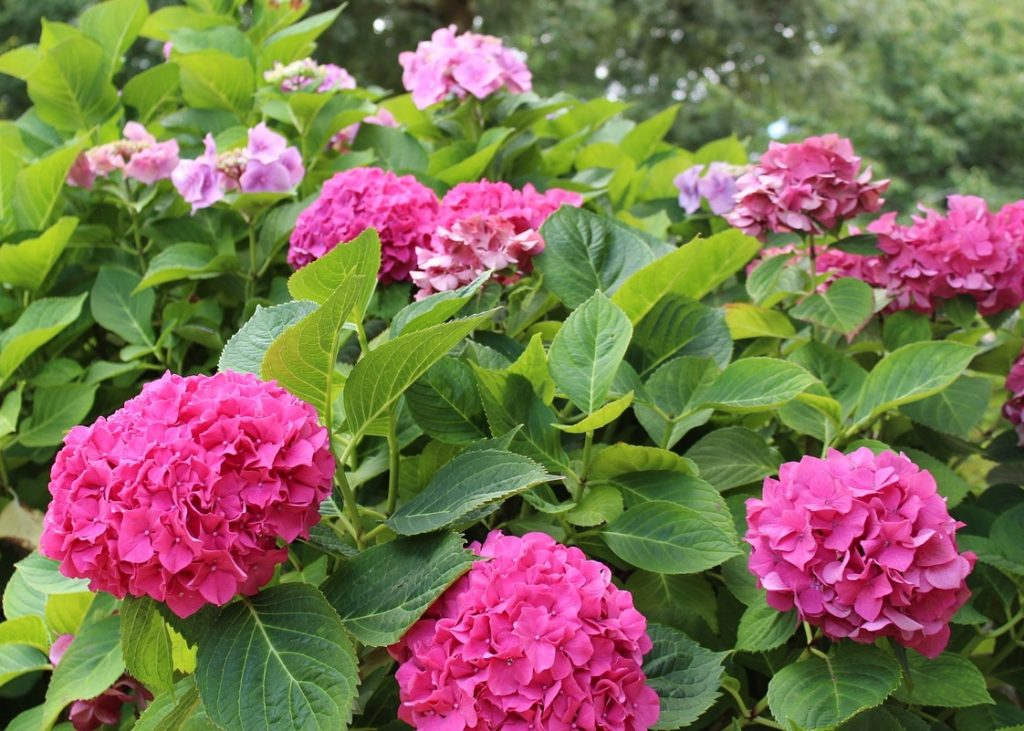Hydrangea Care and Pruning—A Mystery Solved!
