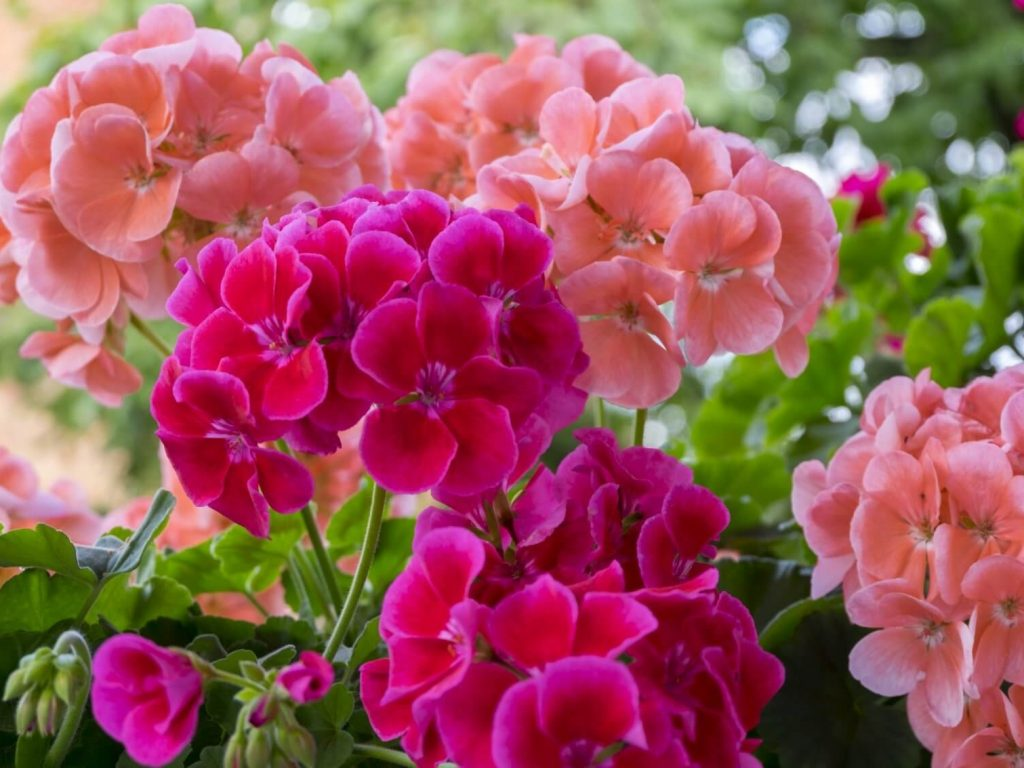 Geraniums: Basic Care and Tips