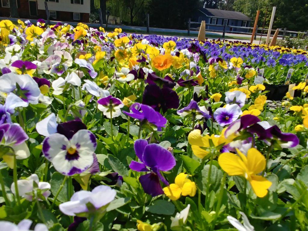 Fall Planting: Pansies and Violas